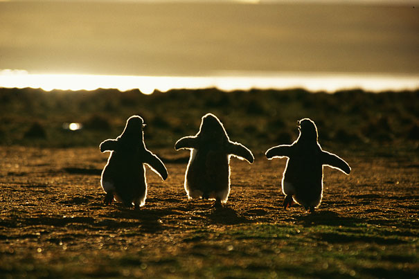 Baby Penguins