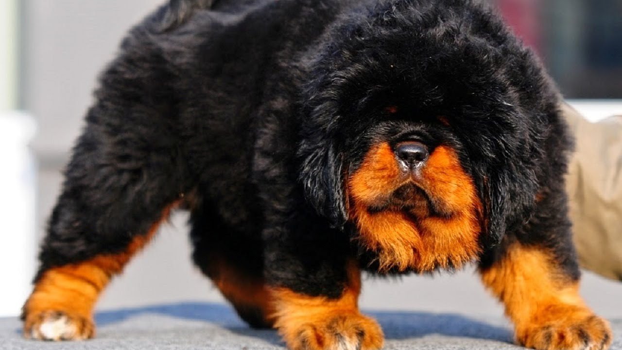 the 10 most expensive dog breeds in the world 2016 humor