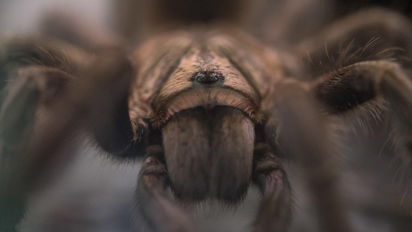 """We could not believe it"" -Spiders can kill mammals"